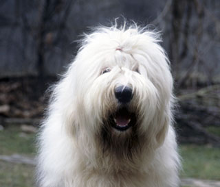 Can An Old English Sheep Dog Live Outside