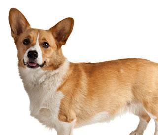 Medium Dogs Short Hair German Shorthaired Pointer Data Dog Breeds ...