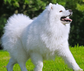 Samoyed For Sale >> Dogs Puppies For Sale Pupcity Com