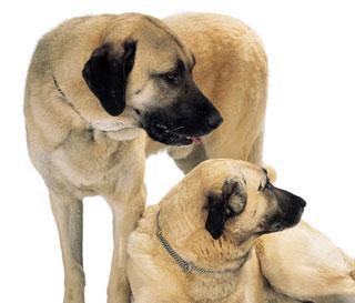 Anatolian shepherd puppies adopt a anatolian shepherd