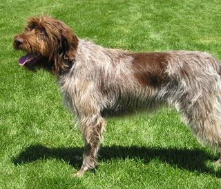 Wirehaired Pointing Griffon Puppies Adopt a Wirehaired Pointing ...