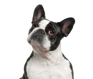 Blue French Bulldog : Care, Costs, Price, Adoption, Health ...   Black French Bulldog Puppies For Adoption