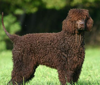 Irish Water Spaniel Puppies For Sale Goldenacresdogs Com