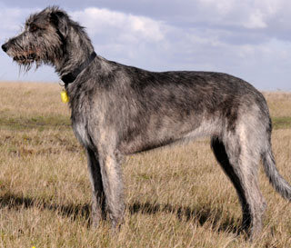 Irish Wolfhound Do They Shed They do enjoy being indoors